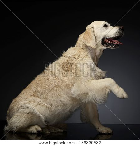Happy Labrador Retriever In A Gray Photo Studio