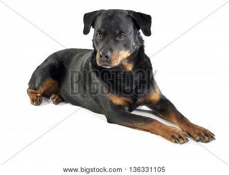 Rottweiler Lying In The White Studio Floor
