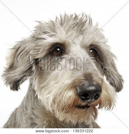Wired Hair Dachshund Portrait In White Background