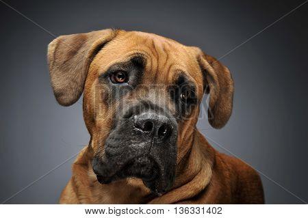 Puppy Cane Corso portrait in gray background photo studio