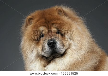 Chow Chow In A Gray Photo Studio
