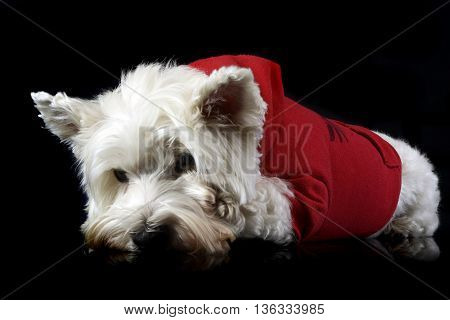 West Highland White Terrier Posing In A Dark Photo Studio