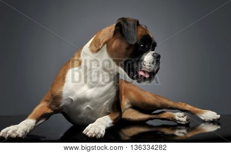 Nice Young Boxer In The Photo Studio
