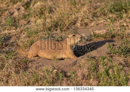 a cute prairie dog at its burrow