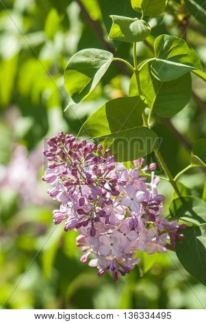 lilac branch with flowers and buds on blurred green background