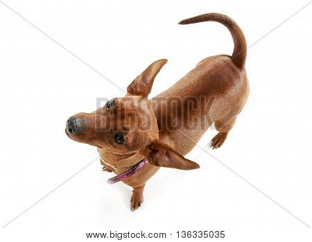 Pinscher Looking Up In A White Studio