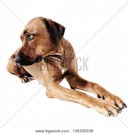 Beautiful rhodesian ridgeback in a white photo studio