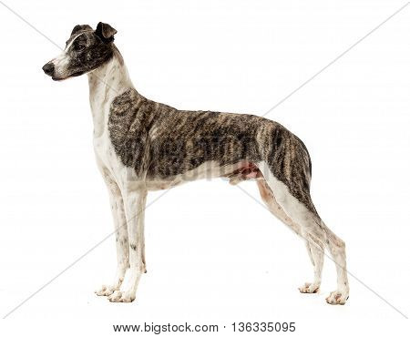 Hungarian Greyhound Standard In A White Studio