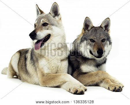 Czech Wolfs Are Relaxing On The White Floor