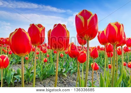 Red Tulips With Beautiful Bouquet Background.