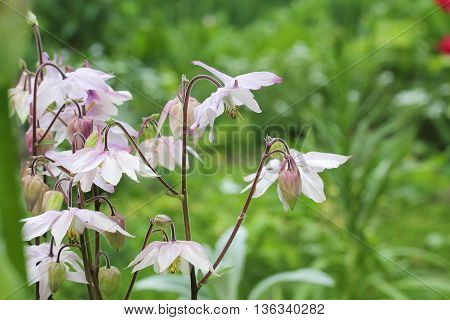 blooming pink columbine aquilegia shot in natural habitat