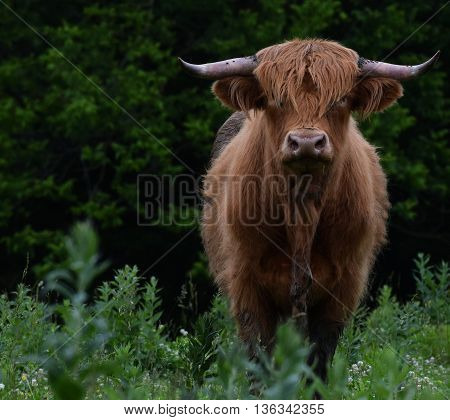 Blonde Scottish Highland beef cow in Missouri pasture