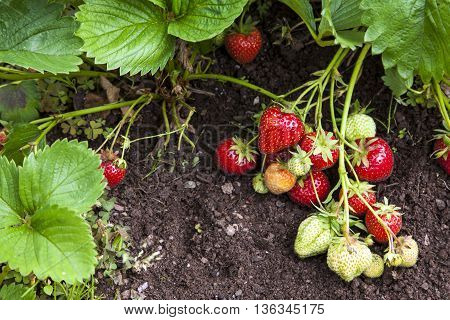 Strawberry plants and fruits growing in garden, gardener's delight.