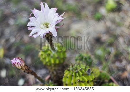 Cactus flower image , beautiful and delicate flower