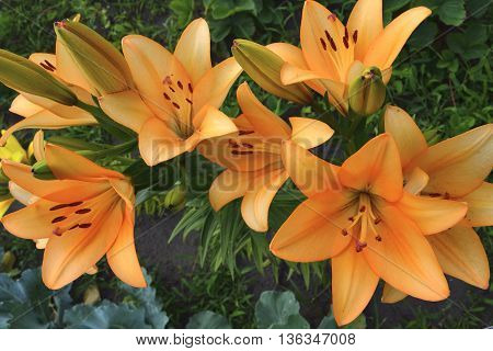 orange lilies with unblown flowers in the garden