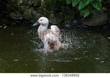 Abacot Ranger duck splashing in pond. Bathing to clean plumage.