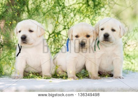 three yellow labrador puppies posing outdoors together