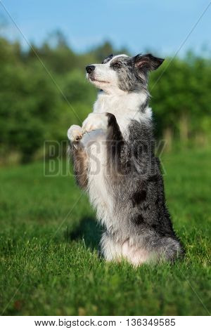 adorable border collie dog begging outdoors in summer