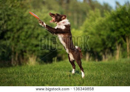 border collie dog catches frisbee disk in the air