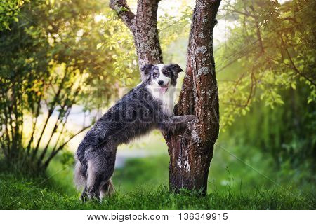 border collie dog posing with paws on a tree