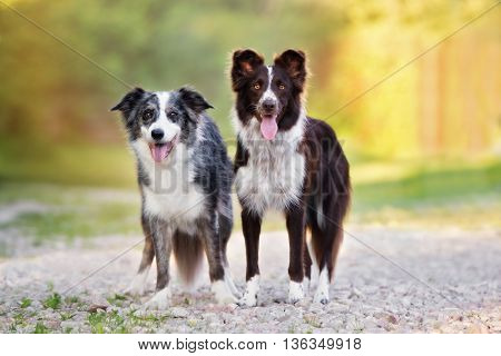 two beautiful border collie dogs posing together outdoors
