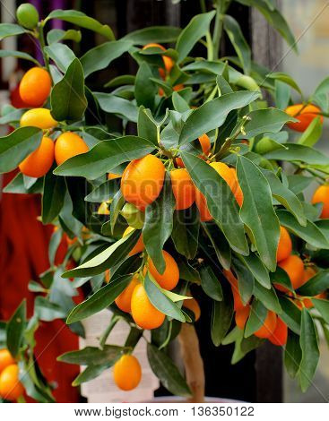 Kumquat Fruit Tree with Ripe Fruits and Green Leafs closeup Outdoors