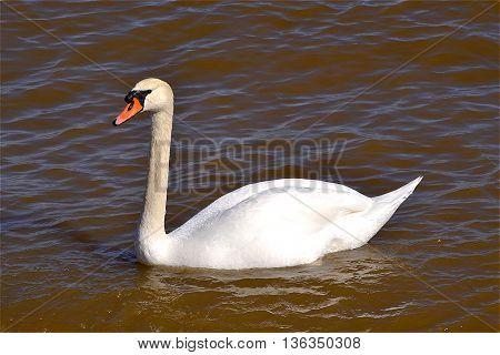 Swan. Sea. Spring. The sun. The snow-white bird.