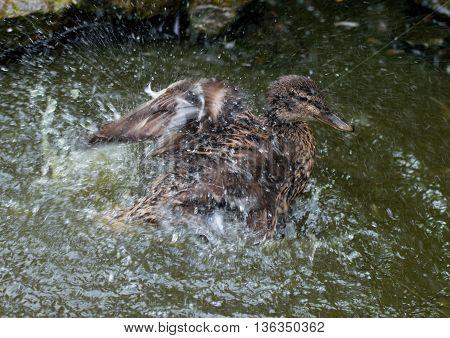 Female mallard duck splashing in a pond to clean feathers.