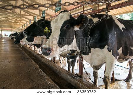 Cows on farm. Interior of the cow farm