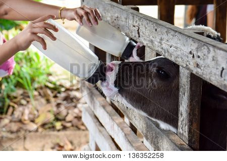 Milk feeding of a calf. animal, calf, dairy,