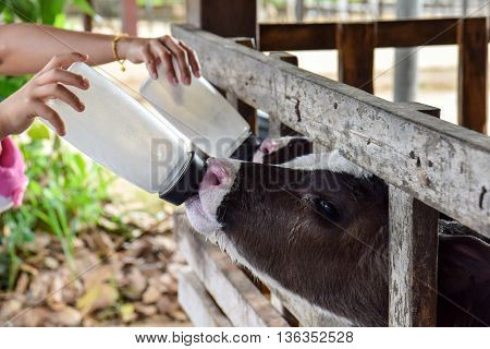Milk feeding of a calf. animal, calf, dairy, feeding,