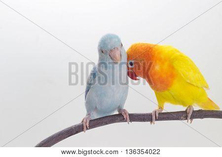 Lovebird And Forpus