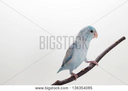 Pastel Blue Forpus Bird on branch white background