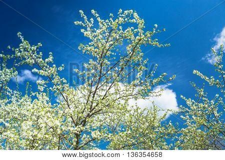 Flowering Plum Tree against blue sky in Spring
