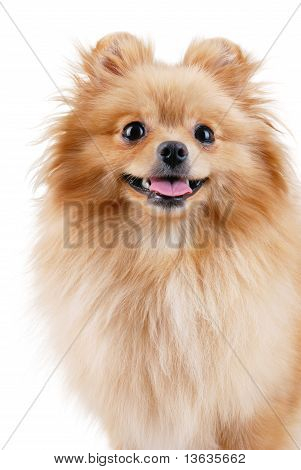 Smiling Pomeranian Dog.