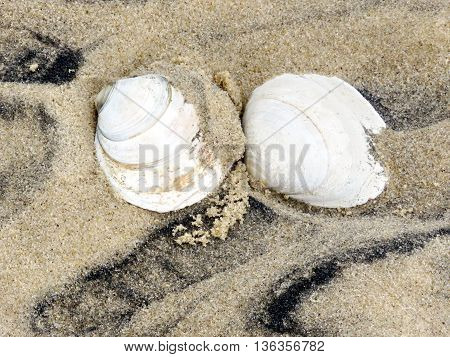 Two seashells on the South Bethany Beach in Delaware 7 May 2016 Usa