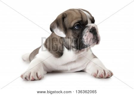 English Bulldog puppy lying on white background and looking to the side
