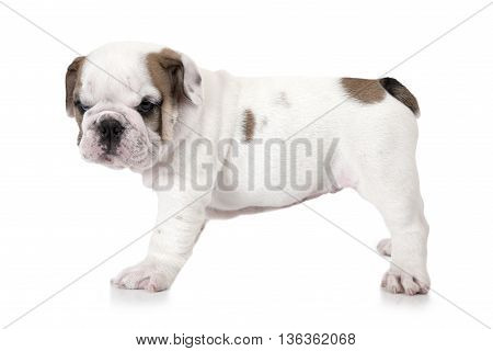 Purebred English Bulldog puppy six weeks old isolated on white background