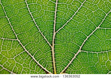 Leaf background Close up view of green leaf and leaf veins for background