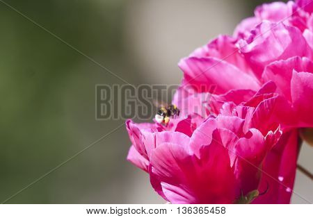 a bumble bee flying over a peaony