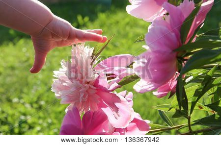Child's hand reaches for the flower to pick.