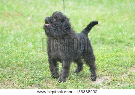 Cute affenpinscher dog on a leash looking up.
