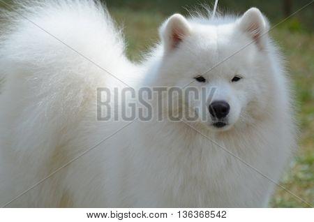 Beautiful very fluffy groomed American Eskimo dog.