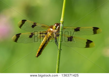 Painted Skimmer Dragonfly perched on some grass in a prairie.
