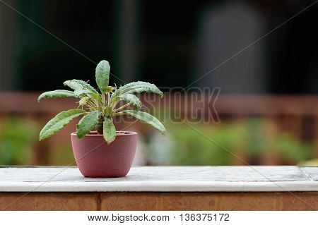 Cactus species Dorstenia Foetida or Grendelion in Mini Potted plants Were placed at border of the Wall.