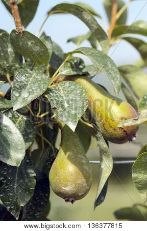 insecticide sprayed unripe pears on the tree
