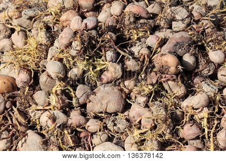 picture of a sprouting potatoes.organic polution concept
