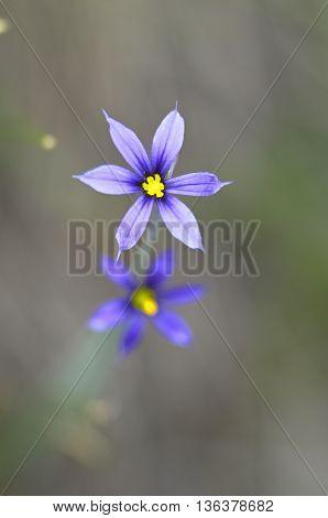 Wildflower at Emerald Lake Yoho National Park Alberta Canada