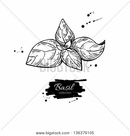 Basil vector drawing. Isolated Basil plant with leaves. Herbal engraved style illustration. Detailed organic product sketch. Cooking spicy ingredient