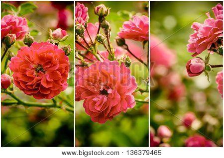 Garden with fresh red roses, floral natural hipster vintage instagram  background